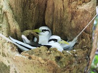 Сейшелы. Остров Кузин (Cousine Island)Pair of White-tailed tropicbird sitting in the nest. Фото yykkaa - Depositphotos