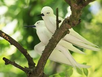 Сейшелы. Остров Кузин (Cousine Island)Pair of white terns sitting on a branch. Фото yykkaa - Depositphotos