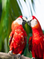 Сингапур. A pair of scarlet macaws (Ara macao) at the Jurong Bird Park in Singapore. Фото vincentstthomas - Depositphotos