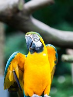 Сингапур. A blue-and-yellow macaw (ara ararauna) at the Jurong Bird Park in Singapore. Фото vincentstthomas - Depositphotos