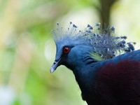 Сингапур. Victoria crowned pigeon (Goura victoria) at Jurong Bird Park in Singapore. Фото vincentstthomas - Depositphotos