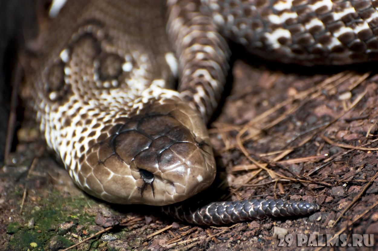 Фото кобра крупным планом 12 фотография