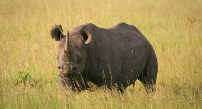 Black Rhino standing in the grass, Masai Mara, Kenya. wrobel27 - Depositphotos