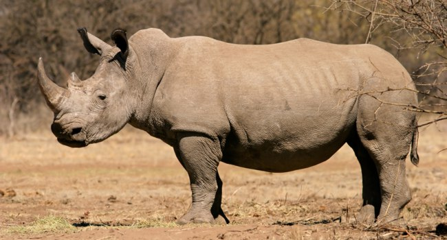 A black (hooked-lipped) rhinoceros (Diceros bicornis), South Africa. Фото EcoPic - Depositphotos