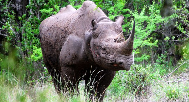 Black rhino in Mkuzi game reserve, Zululand, South Africa. Фото bunty101 - Depositphotos