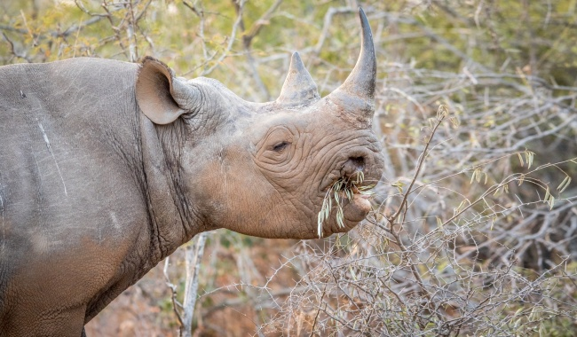 Eating Black rhino in the Kruger National Park, South Africa. Фото Simoneemanphotography - Depositphotos