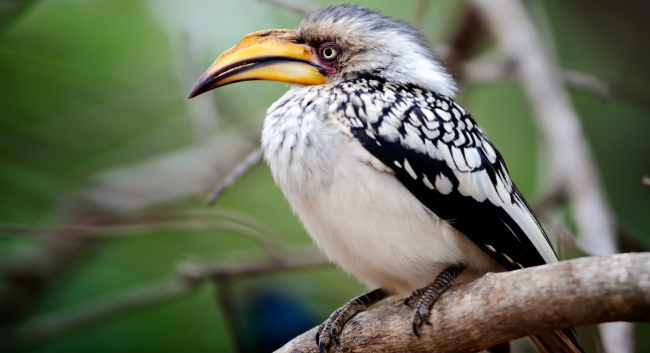 Блог Павла Аксенова. Желтоклювый ток (Tockus flavirostris). Yellow billed hornbill. Фото warrengoldswain - Depositphotos