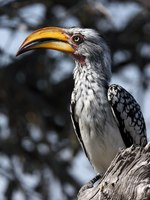 Блог Павла Аксенова. Желтоклювый ток (Tockus flavirostris). Yellow billed hornbill. Фото Steve Allen Depositphotos