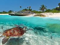 Caribbean Sea scenery with green turtle in Mexico. Фото Patryk Kosmider - Depositphotos