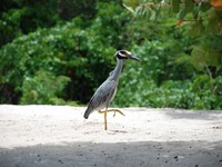 Гренада. Yellow-crested night heron stalking along a white sand beach in the Caribbean. Фото Sarah Marchant - Depositphotos