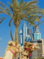 ОАЭ. Дубаи. Camel at the urban building background of Dubai. Фото Observer - Depositphotos