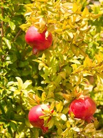 Pomegranate in tree. Фото Arie van der Wolde - Depositphotos