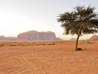 Иордания. Jordan. Lonely tree in Wadi Rum (Jordan). Фото naticastillog - Depositphotos