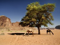 Иордания. Jordan. Two camels in desert of Wadi Rum, Jordan. hitdelight - Depositphotos