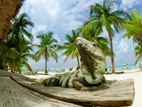 Мексика. Iguana on The Caribbean Beach. Mexico. Фото Anna Subbotina - Depositphotos